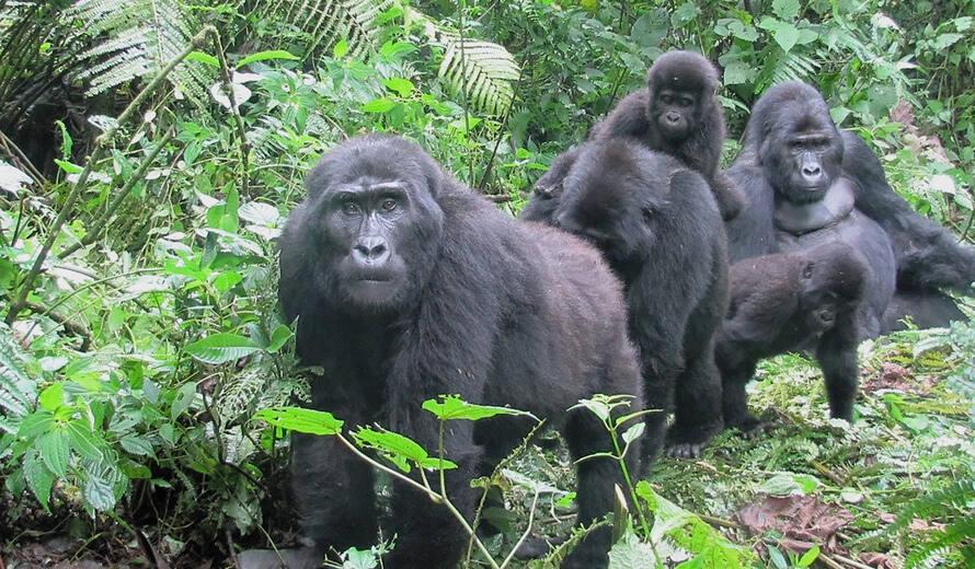 Safeguarding The Endangered Mountain Gorilla During Covid 19 Crisis Unesco World Heritage Centre