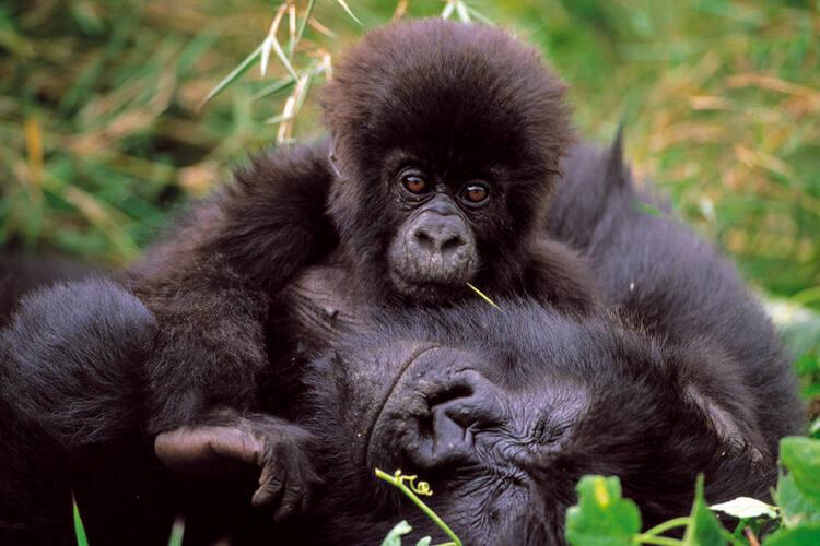 Gorilla Dating-Website