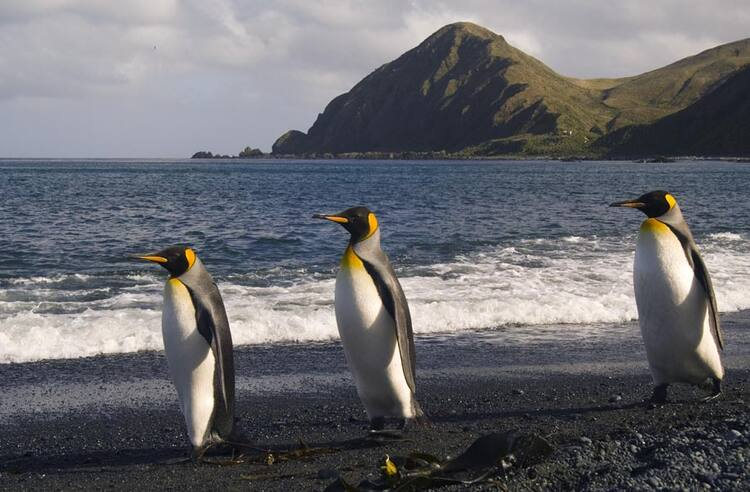 Macquarie island unesco world heritage centre group of king penguins solutioingenieria Gallery
