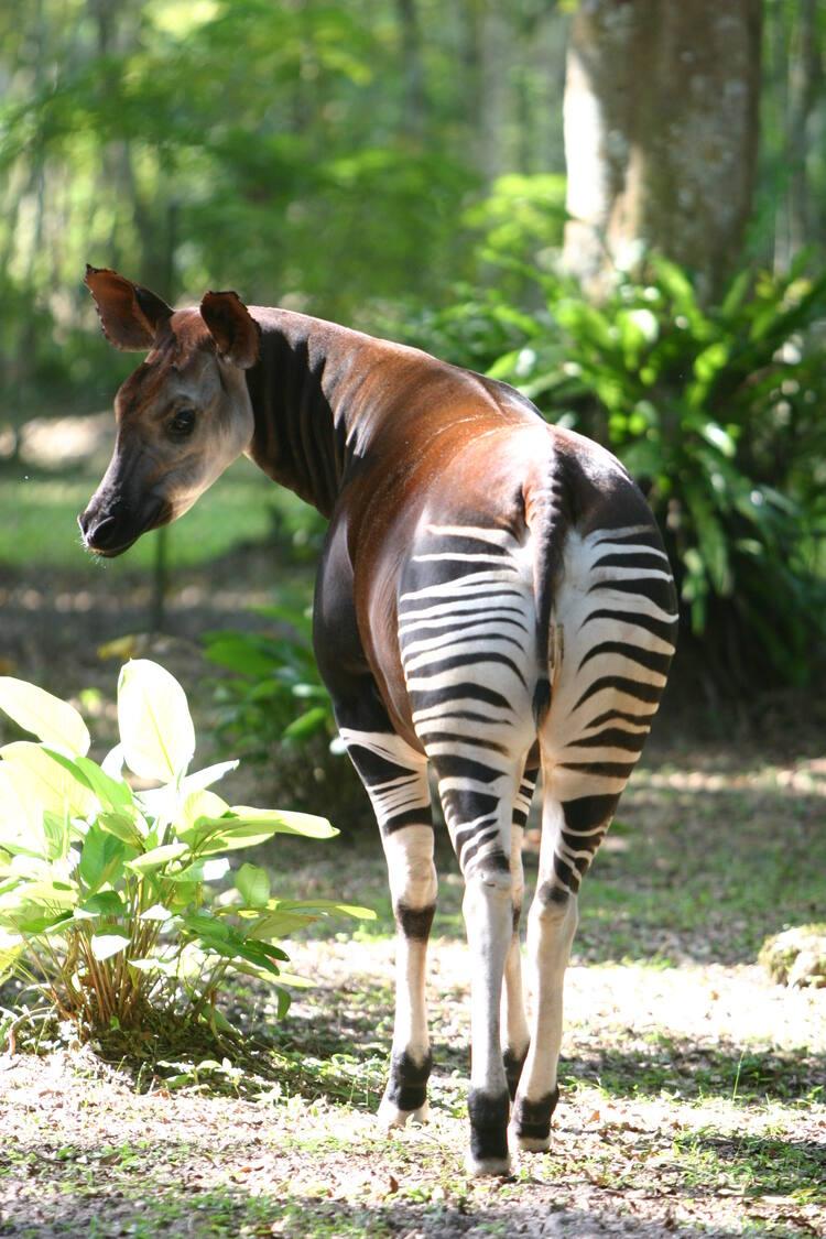 Okapi Wildlife Reserve Unesco World Heritage Centre