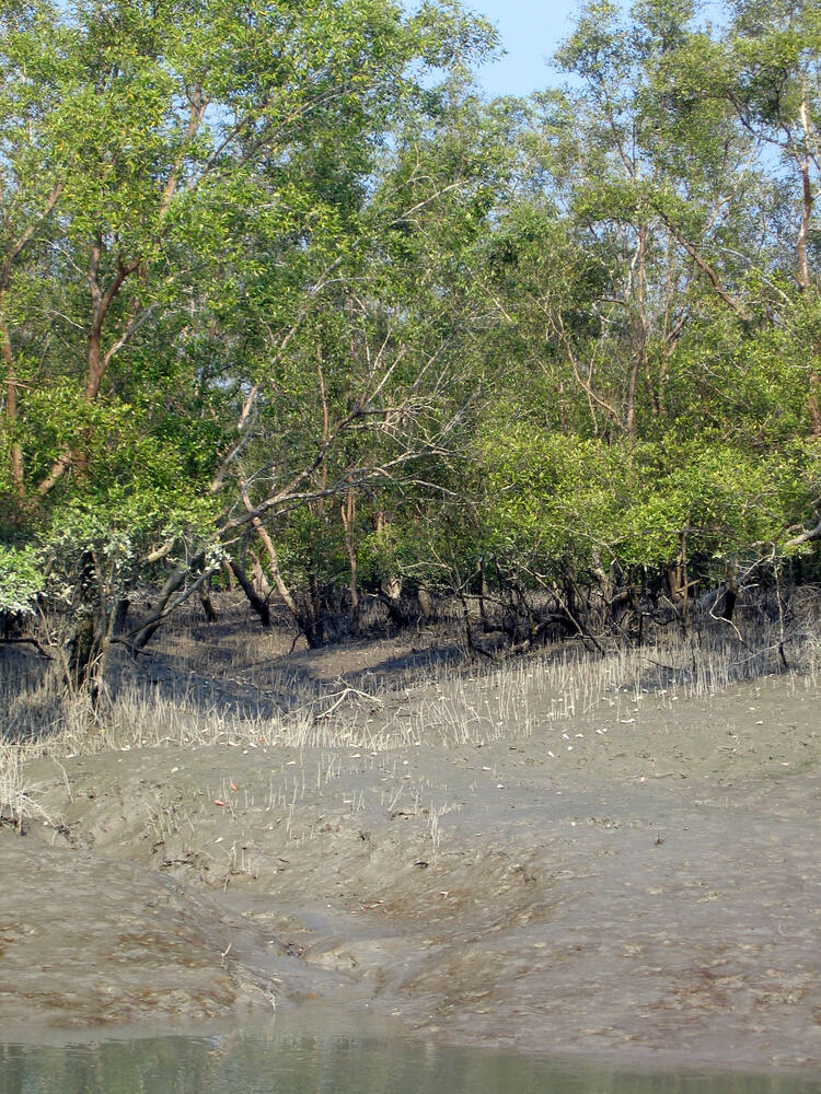 the sundarban forest The forest in india is divided into the sundarbans tiger reserve and 24 parganas (south) forest division, and together with the forest in bangladesh is the only mangrove forest in the world where tigers are found.