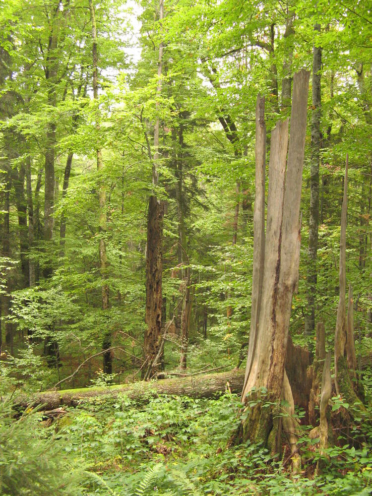 ancient and primeval beech forests of the carpathians and other