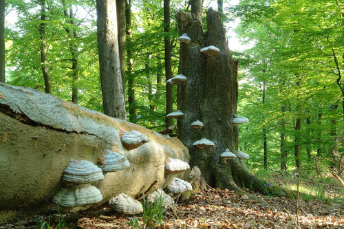 UNESCO World Heritage Centre - Document - Primeval Beech Forests ...