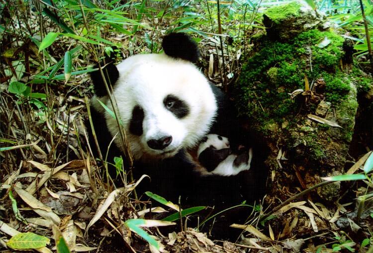 Muito Sichuan Giant Panda Sanctuaries - Wolong, Mt Siguniang and Jiajin  VD42